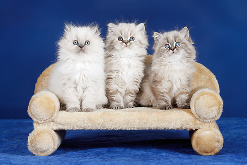 CAT 03 PE0003 01 © Kimball Stock British Longhair Kittens Sitting On Miniature Sofa In Studio