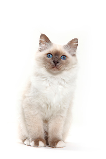 CAT 03 PE0019 01 © Kimball Stock Birman Blue Point Kitten Sitting On White Seamless