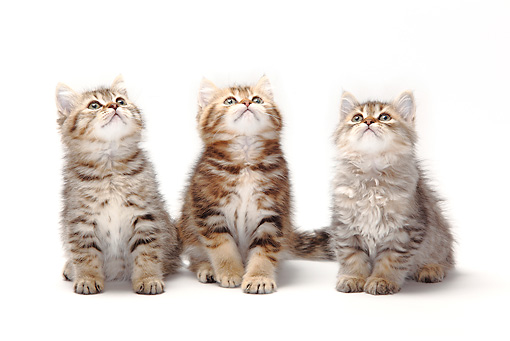 CAT 03 PE0027 01 © Kimball Stock British Longhair And Shorthair Kittens Sitting On White Seamless Looking Up