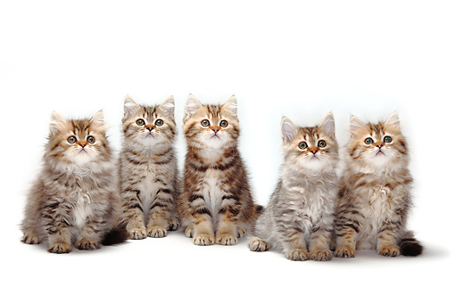 CAT 03 PE0028 01 © Kimball Stock Five British Longhair And Shorthair Kittens Sitting On White Seamless