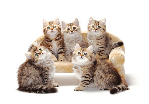 CAT 03 PE0029 01 © Kimball Stock Five British Longhair And Shorthair Kittens Sitting On Sofa On White Seamless