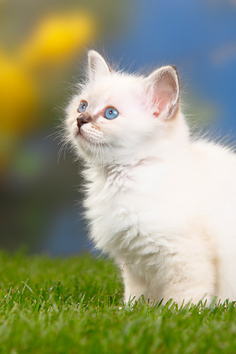CAT 03 PE0032 01 © Kimball Stock White Birman Kitten Sitting On Grass