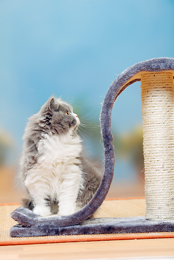 CAT 03 PE0037 01 © Kimball Stock British Longhair Kitten Sitting On Cat Post