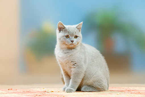 CAT 03 PE0038 01 © Kimball Stock Lilac British Shorthair Kitten Sitting On Rug