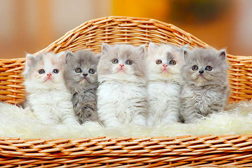 CAT 03 PE0040 01 © Kimball Stock Five British Longhair Kittens Sitting On Wicker Chair