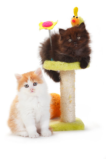 CAT 03 PE0043 01 © Kimball Stock Two British Longhair Kittens Sitting By Toys On White Seamless