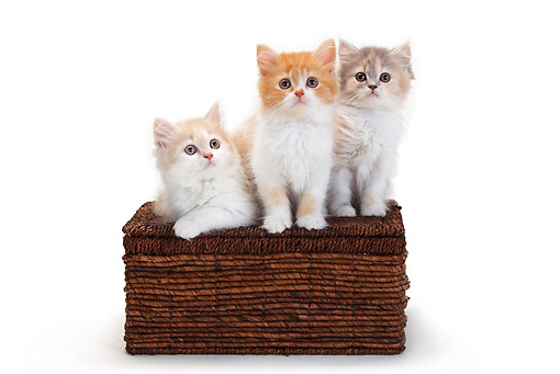 CAT 03 PE0046 01 © Kimball Stock Three British Longhair Kittens Sitting On Wicker Basket On White Seamless