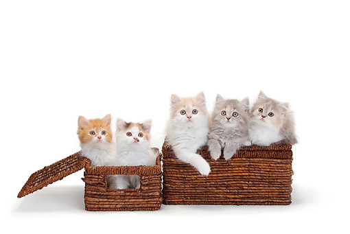 CAT 03 PE0047 01 © Kimball Stock Five British Longhair Kittens Sitting In Wicker Baskets On White Seamless