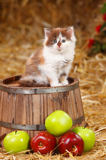 CAT 03 PE0051 01 © Kimball Stock British Longhair Kitten Sitting On Barrel By Apples In Hay