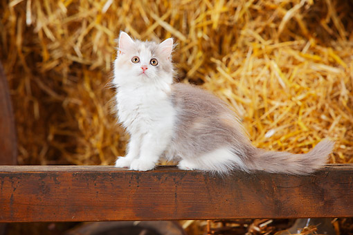 CAT 03 PE0054 01 © Kimball Stock British Longhair Kitten Blue Tortie White Sitting In Barn