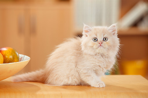 CAT 03 PE0056 01 © Kimball Stock British Longhair Kitten Cream Tabby Mackarell White