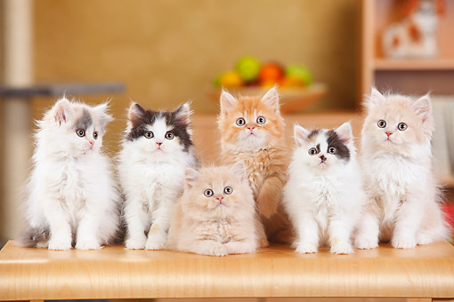 CAT 03 PE0059 01 © Kimball Stock British Longhair Kittens Sitting On Kitchen Counter
