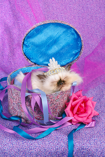 CAT 03 RC0131 01 © Kimball Stock Kitten Wearing Tiara Sleeping In Purple Hat Box