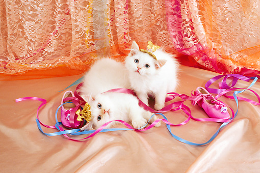 CAT 03 RC0133 01 © Kimball Stock Two White Kittens Wearing Tiaras By Pink Slippers And Ribbons