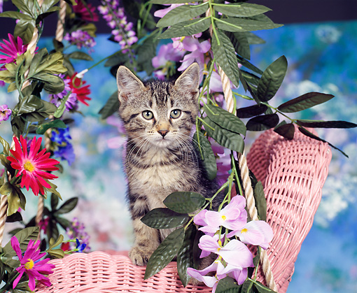 CAT 03 RK0018 04 © Kimball Stock Tabby Kitten Sitting In Pink Chair With Flowers