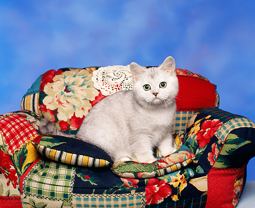CAT 03 RK0060 07 © Kimball Stock American Shorthair Shaded Silver Kitten Sitting On Couch