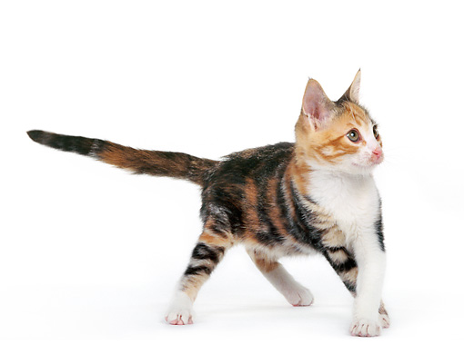 CAT 03 RK0202 11 © Kimball Stock Calico Kitten On Seamless Studio