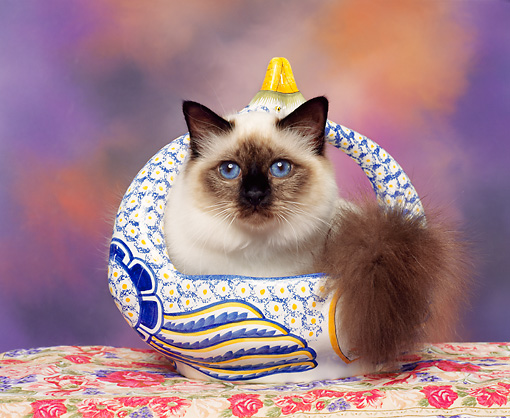 CAT 03 RK0222 03 © Kimball Stock Seal Point Birman Kitten Sitting In Porcelain Basket On Floral Print Facing Camera