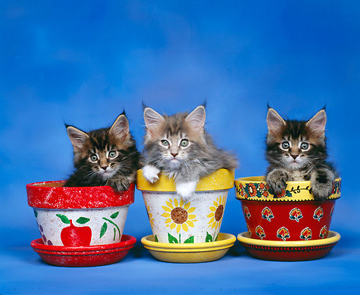 CAT 03 RK0248 02 © Kimball Stock Maine Coon Kittens Sitting In Flower Pots Studio