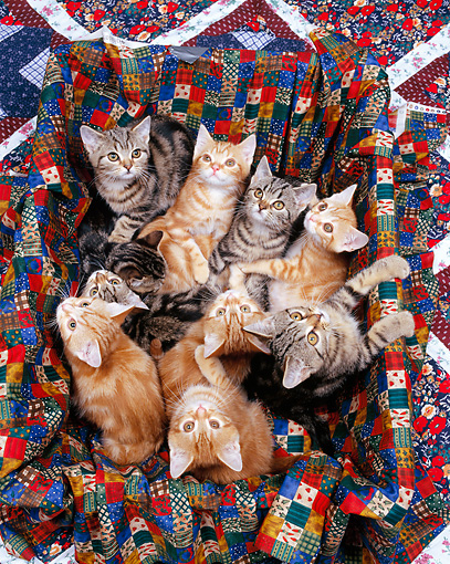 CAT 03 RK0298 06 © Kimball Stock Group of American Shorthair Kittens Sitting In Quilted Box Studio