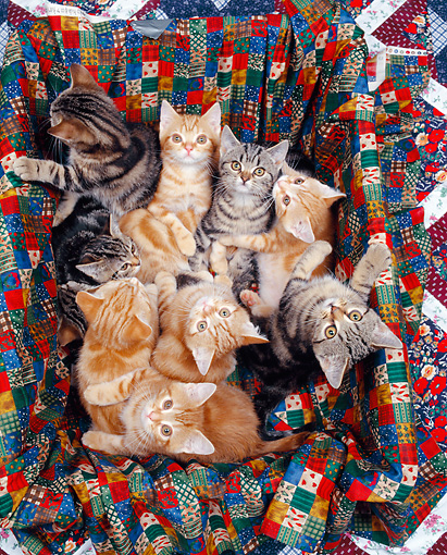 CAT 03 RK0298 07 © Kimball Stock Group of American Shorthair Kittens Sitting In Quilted Box Studio