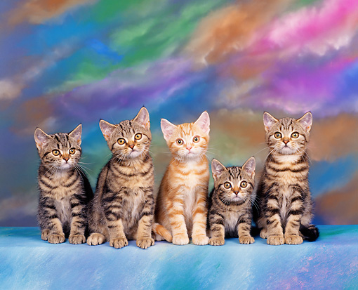 CAT 03 RK0299 10 © Kimball Stock American Shorthair Tabby Kittens Sitting Studio