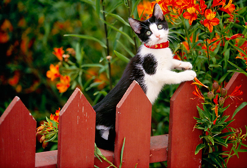 CAT 03 RK0389 08 © Kimball Stock Black And White Kitten On Fence With Flowers