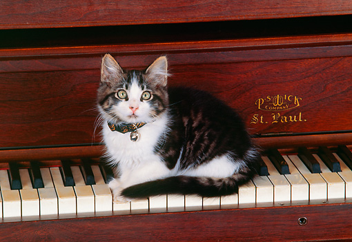 CAT 03 RK0483 02 © Kimball Stock Gray And White Kitten Laying On Piano Keys
