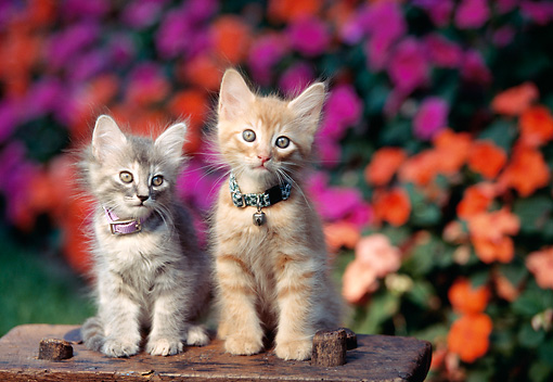 CAT 03 RK0553 03 © Kimball Stock Gray And Red Tabby Kittens Sitting Together On Wooden Stool By Flowers