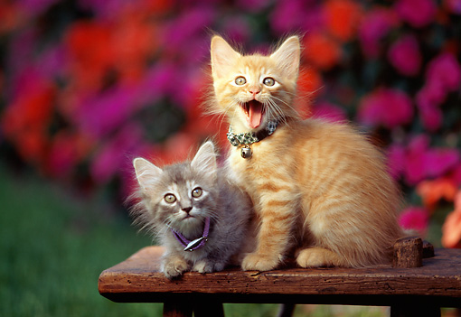 CAT 03 RK0555 01 © Kimball Stock Gray And Red Tabby Kittens Sitting On Wooden Bench By Flowers