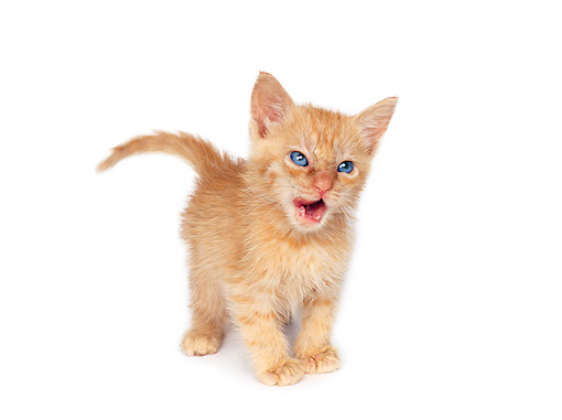 CAT 03 RK0669 06 © Kimball Stock Red Tabby Kitten Standing On White Seamless