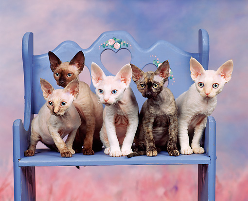 CAT 03 RK0726 02 © Kimball Stock Devon Rex Kittens Sitting On Bench Studio