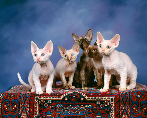 CAT 03 RK0737 02 © Kimball Stock A Group Of Devon Rex Kittens Sitting Together On Carpet Studio