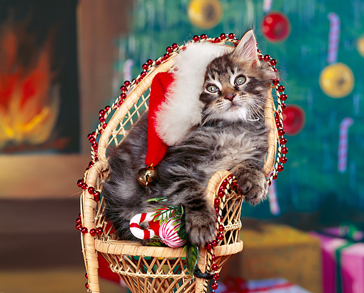 CAT 03 RK0753 07 © Kimball Stock Maine Coon Gray Tabby Kitten Sitting In Chair Wearing Santa Hat Studio