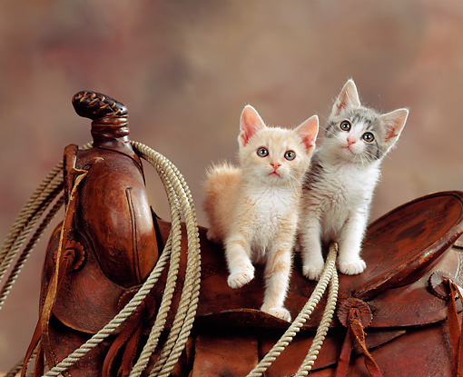 CAT 03 RK0832 04 © Kimball Stock Two Kittens Sitting On Western Saddle