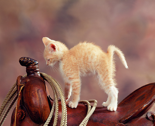 CAT 03 RK0833 12 © Kimball Stock Orange Kitten Leaning On Saddle With Rope Brown Background