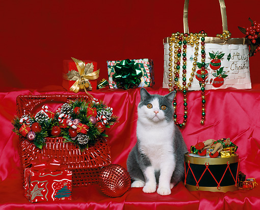 CAT 03 RK0896 15 © Kimball Stock Gray And White British Shorthair Kitten Sitting By Christmas Decorations On Red Silk Material