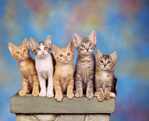 CAT 03 RK0955 01 © Kimball Stock A Group Of Kittens Sitting On Pedestal Mottled Background