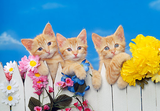 CAT 03 RK1052 07 © Kimball Stock Three Kittens Behind White Fence With Flowers