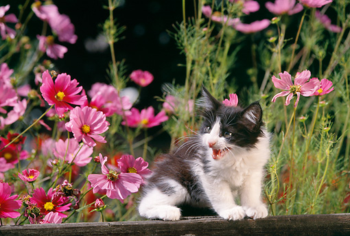 CAT 03 RK1221 02 © Kimball Stock Black And White Kitten Sitting On Fence By Pink Flowers