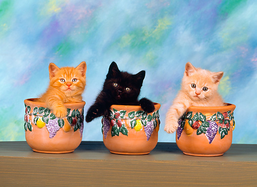 CAT 03 RK1418 06 © Kimball Stock Head Shots Of Kittens Sitting In Three Seperate Flower Pots