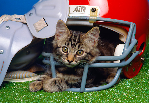 CAT 03 RK1456 05 © Kimball Stock Tabby Kitten Laying Inside Football Helmet By Shoulder Pads