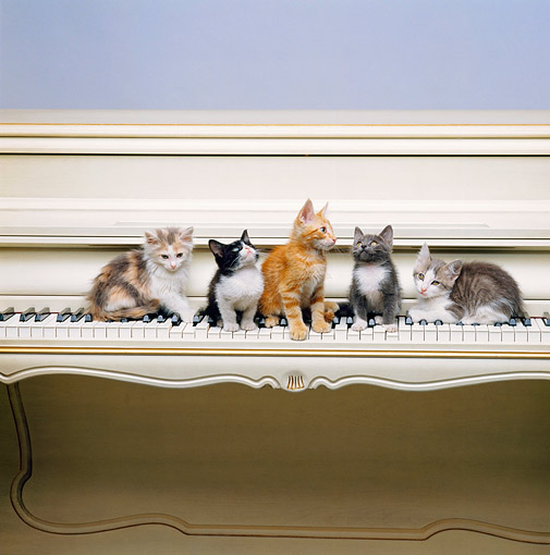 CAT 03 RK1516 01 © Kimball Stock A Group Of Kittens Sitting On Keyboard Of Piano