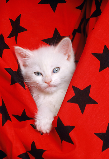 CAT 03 RK1597 01 © Kimball Stock Head Shot Of White Kitten In Black And Red Star Material