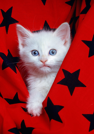 CAT 03 RK1597 05 © Kimball Stock Head Shot Of White Kitten In Black And Red Star Material