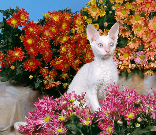 CAT 03 RK1610 06 © Kimball Stock White Devon Rex Kitten Sitting By Flowers