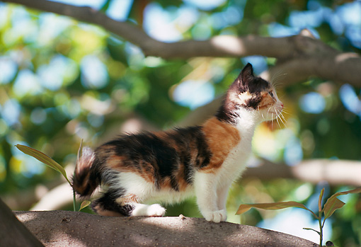 CAT 03 RK1799 02 © Kimball Stock Calico Kitten Sitting On Tree Branch