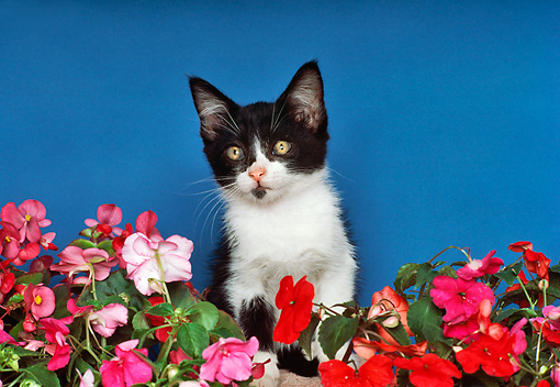 CAT 03 RK2006 06 © Kimball Stock Head Shot Of Black And White Kitten By Flowers Blue Background