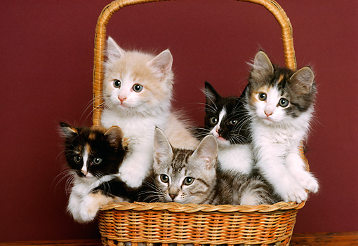 CAT 03 RK2054 10 © Kimball Stock Group Of Kittens Sitting In Wicker Basket
