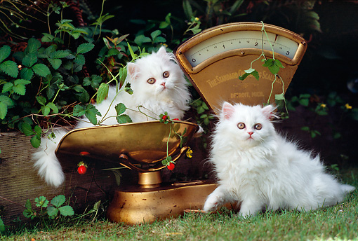 CAT 03 RK2132 08 © Kimball Stock Two White Kittens On Weigh Scale On Grass By Bushes